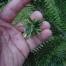 balsam-wooly-adelgid-2