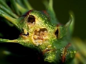 spruce-adelgid-jpg-2