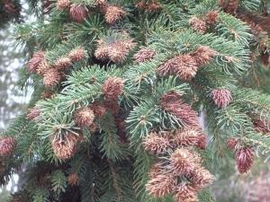 spruce-adelgid-jpg-3